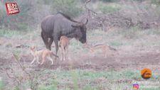 Yavrusunu çakallardan korumaya çalışan anne antilop