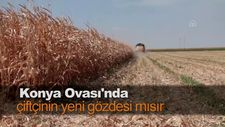 Konya Ovası'nda çiftçinin yeni gözdesi mısır