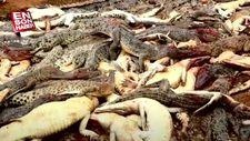 Köylüler 292 timsahı öldürdü