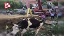 Çatıya çıkan ineği itfaiye kurtardı