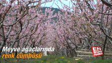 Meyve ağaçlarında renk cümbüşü