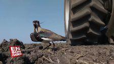 Yumurtalarını koruyan kuşa zarar gelmemesi için çabalayan çiftçi