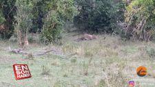 Leoparın pitonla mücadelesi