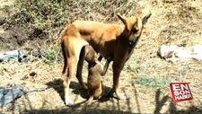 Maymuna annelik yapan köpek