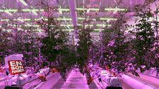 Ledle aydınlattıkları serada domates yetiştiriyorlar