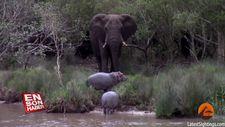 Yavru su aygırlarını ağaç devirerek korkutan fil