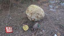 Muğla'da 3 kilogramlık mantar bulundu