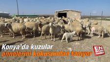 Konya'da kuzular annelerini kokusundan tanıyor