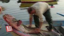 Bursa'da balıkçıların ağına takılan 80 kiloluk balık