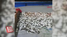 Yüzlerce balon balığı ağa takıldı