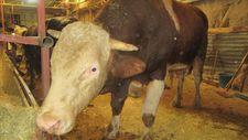 Afyonkarahisar'da 1,5 tonluk Hüdai pazara çıkarılamadı