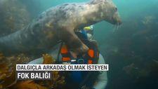 Dalgıçla arkadaş olmak isteyen fok balığı