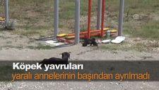 Köpek yavruları yaralı annelerinin başından ayrılmadı