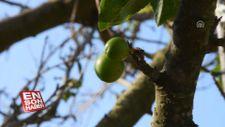 Manisa'da erik ağacı kasımda meyve verdi