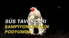 Süs tavukları şampiyonluk için podyumda
