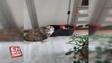 Eve giren yaralı dev baykuş koruma altına alındı