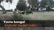 Yavru kangal kaybolan keçileri buldu