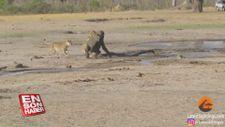 Aslanların yavru fil avı kamerada