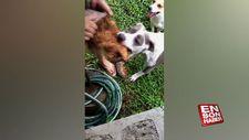 Hindistan cevizi açmaya yardımcı olan pitbull