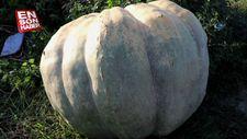 450 kilogramlık bal kabağı