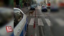 Yaya geçidini kullanan sokak köpeği