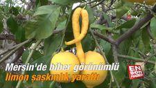 Mersin'de biber görünümlü limon şaşkınlık yarattı