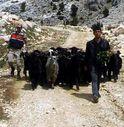 Kahramanmaraş'ta ahırdan kaçan keçileri jandarma buldu