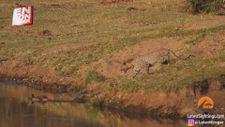Timsahın avına sulanan leopar