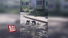 Kedileri kavga ettirebilmek için elinden geleni yapan karga