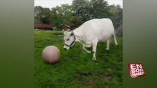 Top oynamaya bayılan tosun