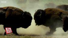 Çiftleşme hakkına sahip olabilmek için savaşan bizonlar
