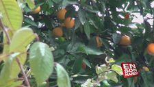 Taksim'in göbeğindeki portakal ağacı görenleri şaşkına çevirdi