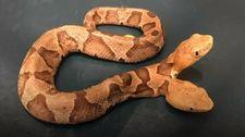 ABD'de çift başlı yılan bulundu