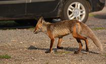 Kars'ta aç kalan yaban hayvanlarının yiyecek arayışı