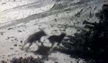 Sivas'ta aç kurtlar köye inip köpeğe saldırdılar