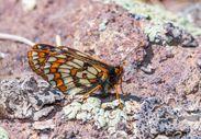Ağrı Dağı'nın yamaçlarında yaşayan 12 bin yıllık kelebek