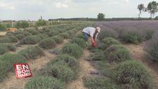 Lavanta tarlasında hasat vakti