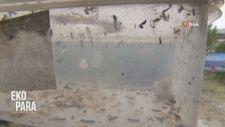 Tarlaya böcek salımı ekonomiye katkı sağlıyor