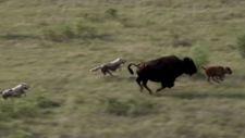Bufalonun kurtlarla mücadelesi
