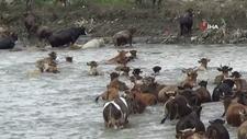 Büyükbaş hayvanları otlatabilmek için nehirden geçiriyorlar