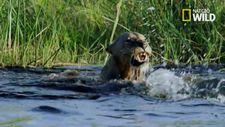 Timsah aslanlara saldırdı