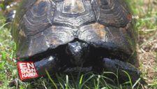 Kaplumbağalar eriyen asfalt sebebiyle ölümle burun buruna kaldı