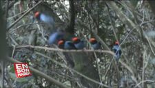 Dişiyi etkilemek için sırayla gösterilerini yapan mavi manakin kuşlarını