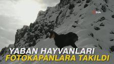 Yaban hayvanları fotokapanlara takıldı
