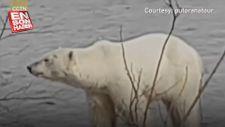 Rusya'da aç kalan kutup ayısı kente indi