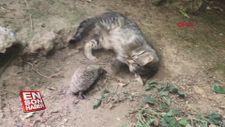Yavru kedi ve kirpinin şaşırtan dostluğu