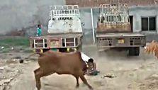 Hindistan'da kaçan ineği yakalama çalışması