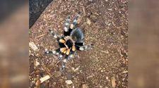 Kabuk değiştiren trantula örümceği