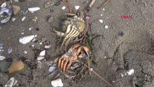 Silivri'de ölü yengeçler sahile vurdu