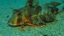 Altı ayaklı kırlangıç balığı